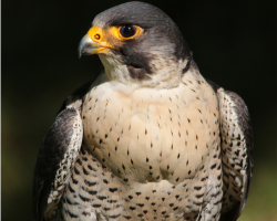 Adopt Raj the Peregrine Falcon