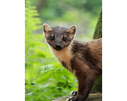 Adopt a Richness of Pine Marten for an Adult (Over 16)