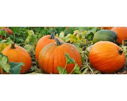 Medium Pumpkin Image