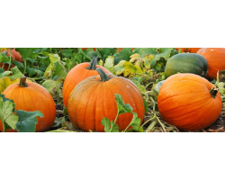Large Pumpkin Image