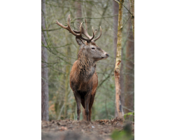 Adopt a Leash or Herd of Fallow Deer for an Adult (Over 16)