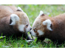 Red Panda Adoption Pack Image