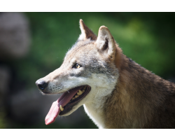 Wolf Adoption Pack Image