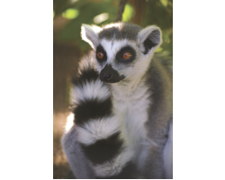 Adopt our Conspiracy of Ring-Tailed Lemurs for 1 year