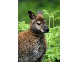 Adopt a Mob of Wallabies for a Child (Under 16)