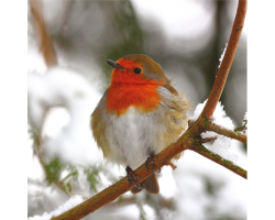 Robin in Snow Covered Trees