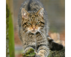 Adopt a Destruction of Scottish Wildcats for a Child (Under 16)
