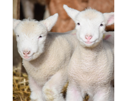Lamb Adoption