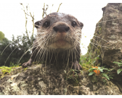 Adopt our Romp of Asian Short-Clawed Otters for 1 year