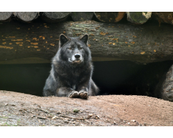 Adopt a Pack of Wolves for a Child (Under 16)