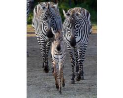 Zebra Adoption Pack